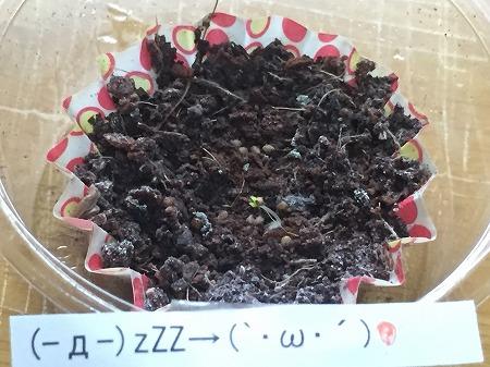 イチゴ 種