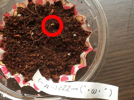 イチゴ 苺 種 発芽 strawberry Germination