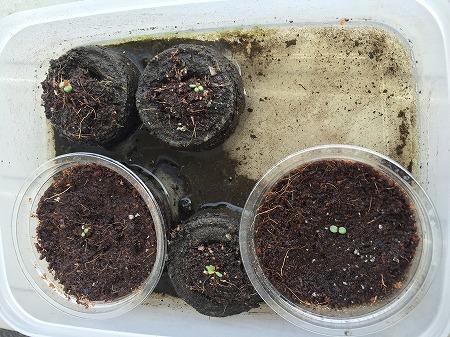 水耕栽培 実験 Hydroponic Gardening