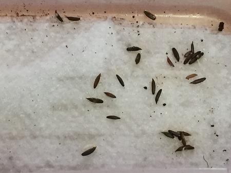 三つ葉 種まき Japanese honeywort