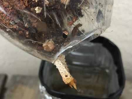 毛細作用実験 capillary action 家庭菜園