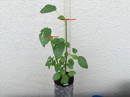 モロヘイヤ Mulukhiya 初収穫