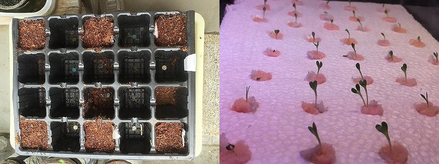 毛細作用実験 capill日照比較実験 家庭菜園 Sunshine comparison