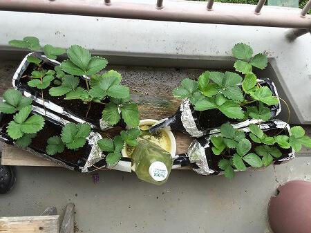イチゴ Strawberry 水耕栽培