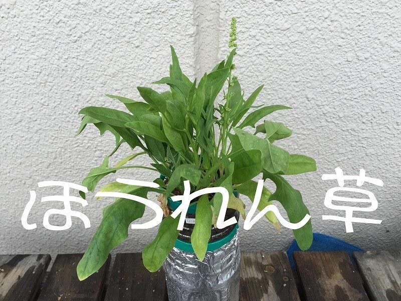 ほうれん草 、spinach、菠菜