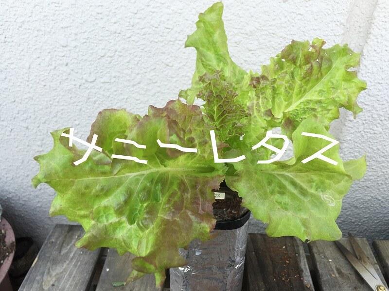 サニーレタス(リーフレタス) Red leaf lettuce