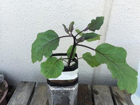 茄子 ナス eggplant 種まき