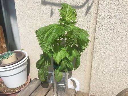 しそ Japanese basil 種まき