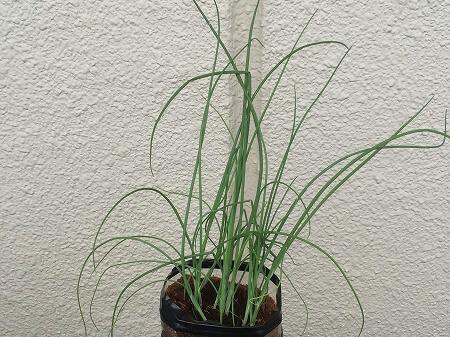 オクラ 細ネギ green onion 収穫