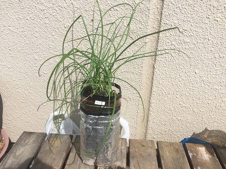 細ネギ green onion 収穫