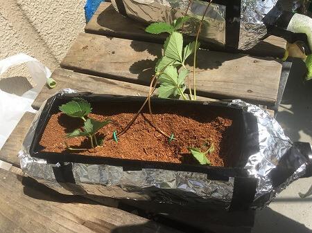 イチゴ Strawberry ライナー 移植