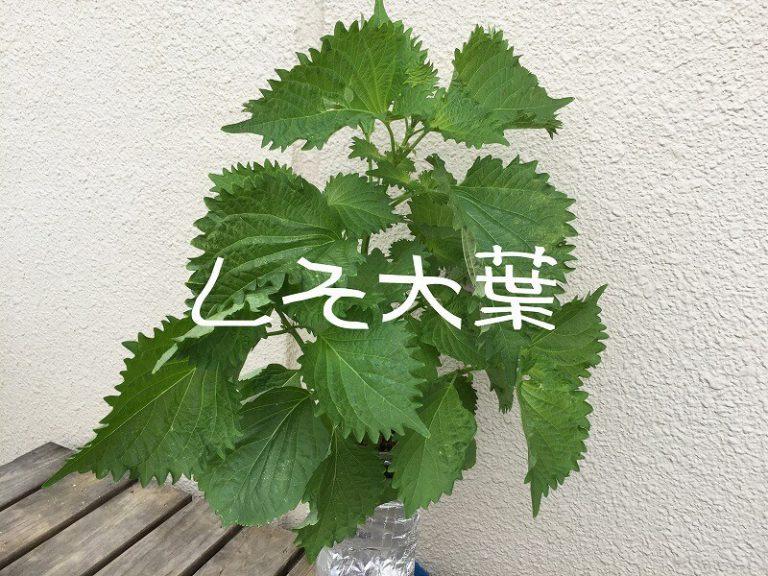しそ大葉 Japanese basil