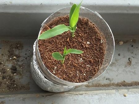 トウモロコシ cron  発芽