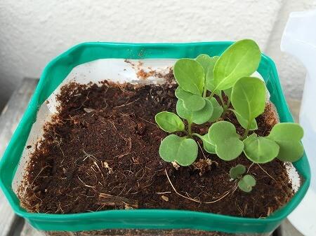 ルッコラ arugula 発芽