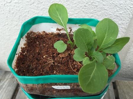 ルッコラ arugula 成長 育て方