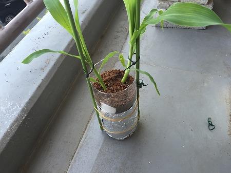 トウモロコシ cron 種まき