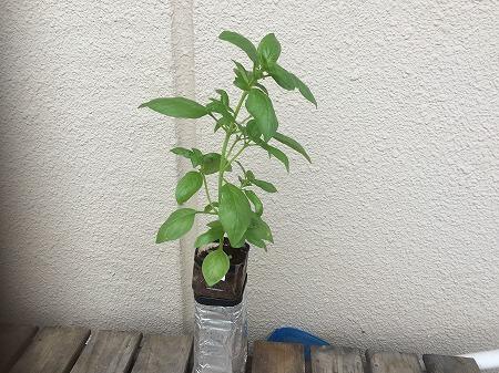 バジル basil 花芽
