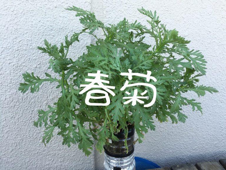 春菊、 Garland chrysanthemum