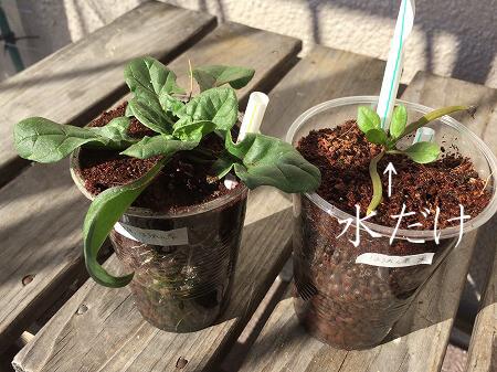 肥料実験 家庭菜園 Germination experiment