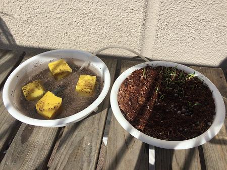 水耕栽培 家庭菜園 エアポンプ式 Germination experiment