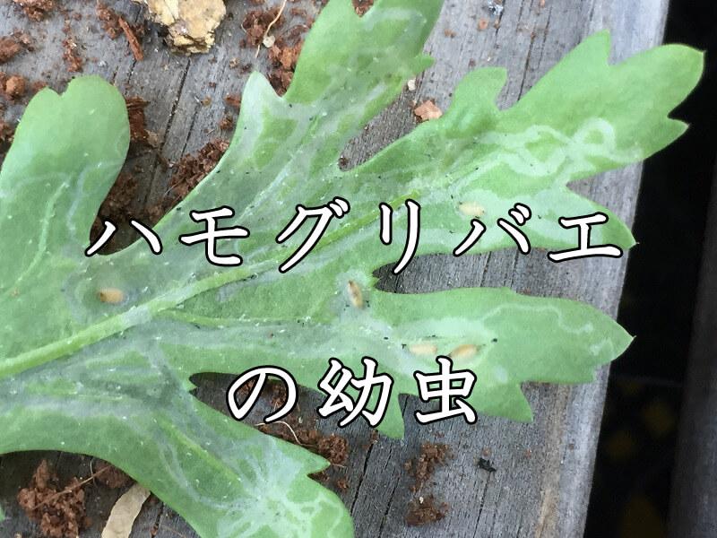 ハモグリバエ、幼虫、対策、退治、
