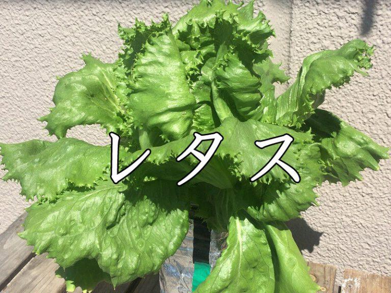 レタス、   lettuce、生菜