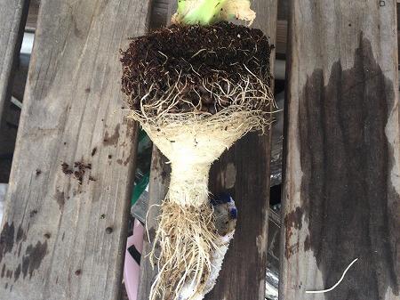レタス lettuce 水耕栽培