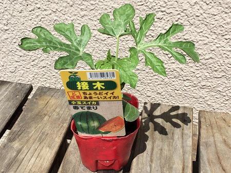 小玉スイカ 種まき Small watermelon