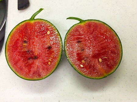 小玉スイカ Small watermelon 水耕栽培