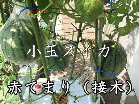小玉スイカ 水耕栽培 接木 赤てまり