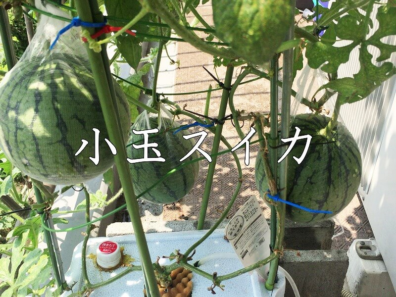 小玉スイカ 、Small watermelon