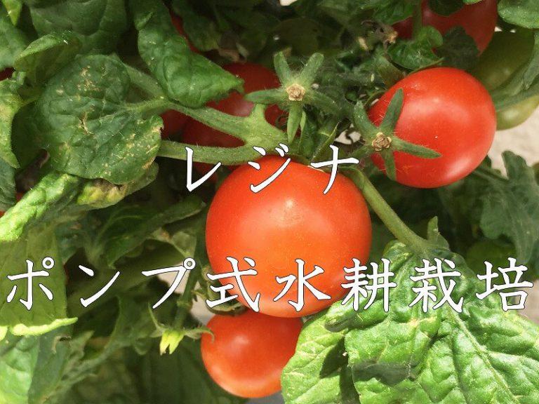 レジナ 、(ミニトマト)、 Regina 、  Cherry tomato,