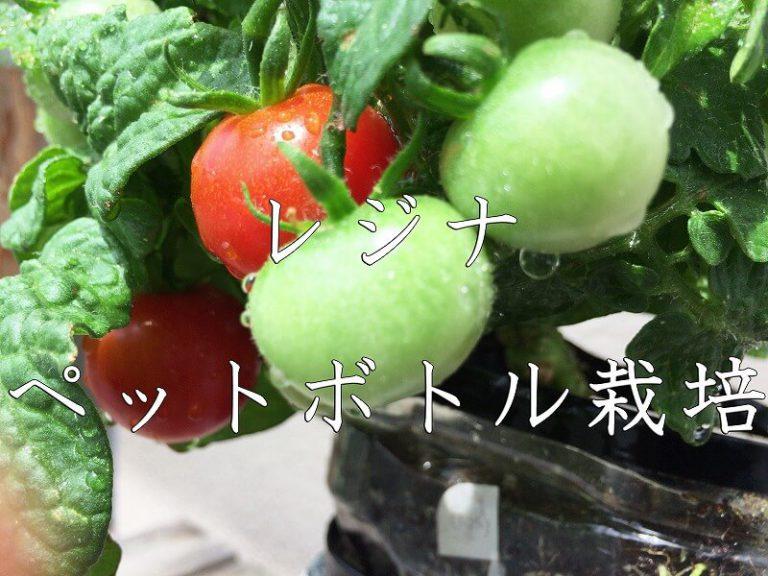 レジナ (ミニトマト) Regina   Cherry tomato
