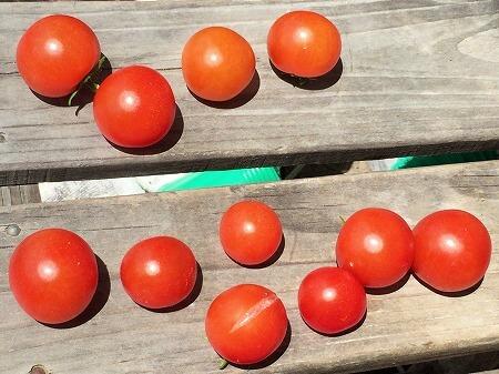 レジナ 水耕栽培 ミニトマト 種まき Cherry tomato