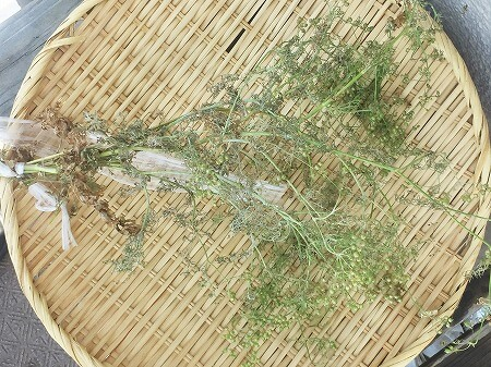 パクチー コリアンダー Coriander 水耕栽培 種