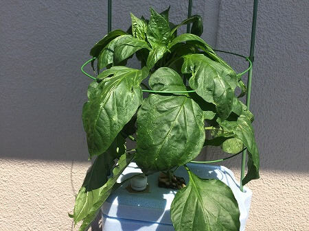 ピーマン green pepper 青椒