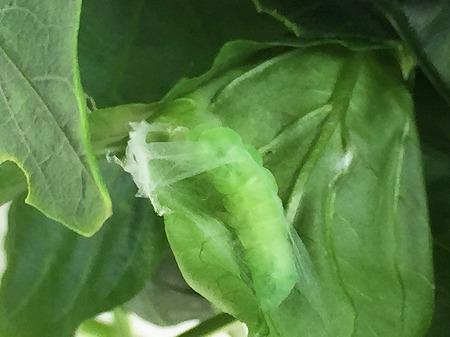 ピーマン green pepper 青椒 収穫