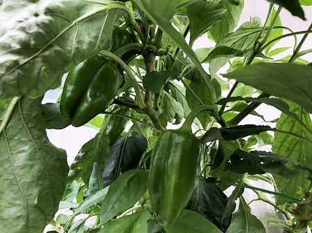 ピーマン 、green pepper、 青椒