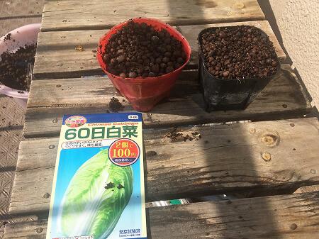 白菜 Chinese cabbage 水耕栽培 育て方 種まき