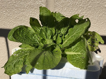 白菜 Chinese cabbage 水耕栽培 育て方