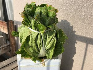 白菜 Chinese cabbage
