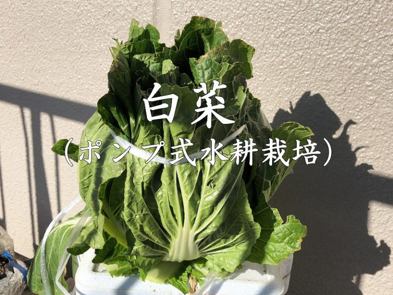 白菜、Chinese cabbage 、水耕栽培、