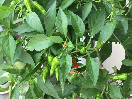 ししとう  a variety of green pepper 水耕栽培 ポンプ式 種まき