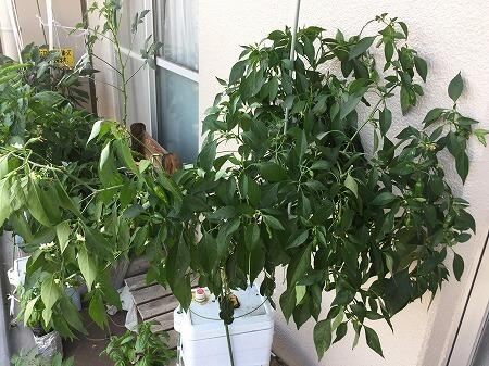 ししとう 青枯れ病  a variety of green pepper 水耕栽培 ポンプ式 種まき