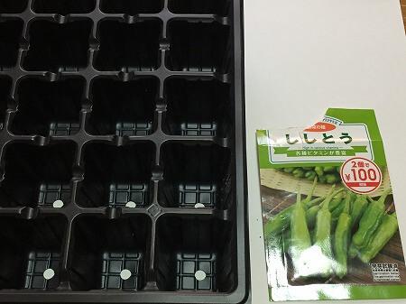 ししとう  a variety of green pepper 水耕栽培 ポンプ式