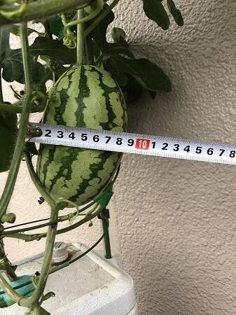 くろべスイカ 入善ジャンボ西瓜  Japan big watermelon 西瓜