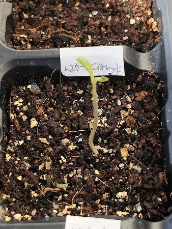 トスカーナバイオレット Toscana violet 水耕栽培 ミニトマト 種まき Cherry tomato