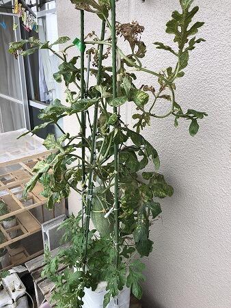 スイカ  ツル枯れる Japan  watermelon 西瓜 発芽