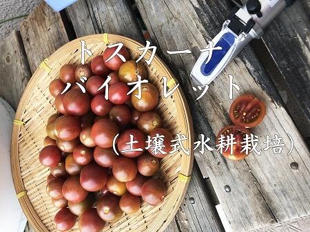 トスカーナバイオレット、水耕栽培、Toscana violet、ミニトマト,ベランダ,家庭菜園,やり方,日数,道具,