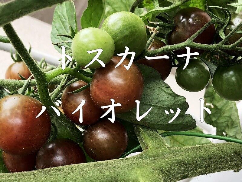 トスカーナバイオレット、 Toscana violet、 水耕栽培、 ミニトマト、 土壌式水耕栽培、 Cherry tomato